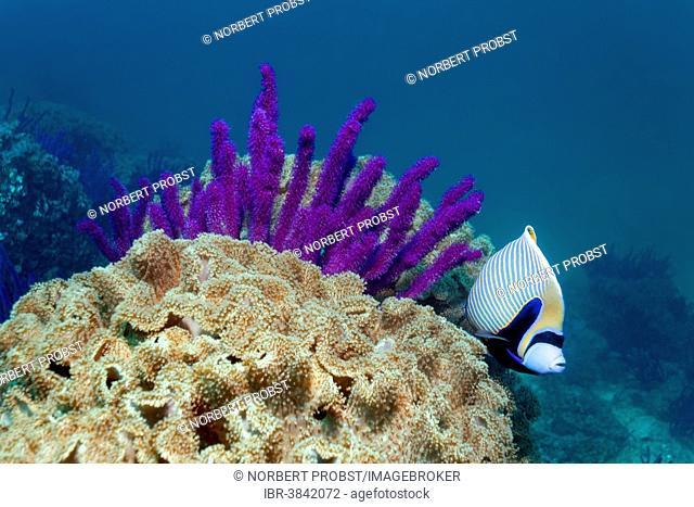 Emperor Angelfish (Pomacanthus imperagate), Red sea whips (Ellisella sp.) and leathery corals (Alcyoniidae), Dimaniyat Islands nature reserve, Al Batinah region