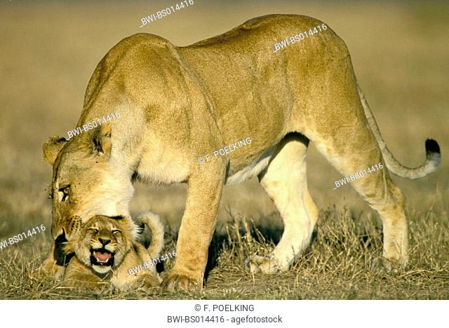 lion (Panthera leo), lioness biting cub in the neck, Kenya, Masai Mara National Park