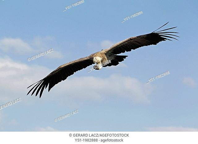African White Backed Vulture, gyps africanus, Adult in Flight against Blue Sky
