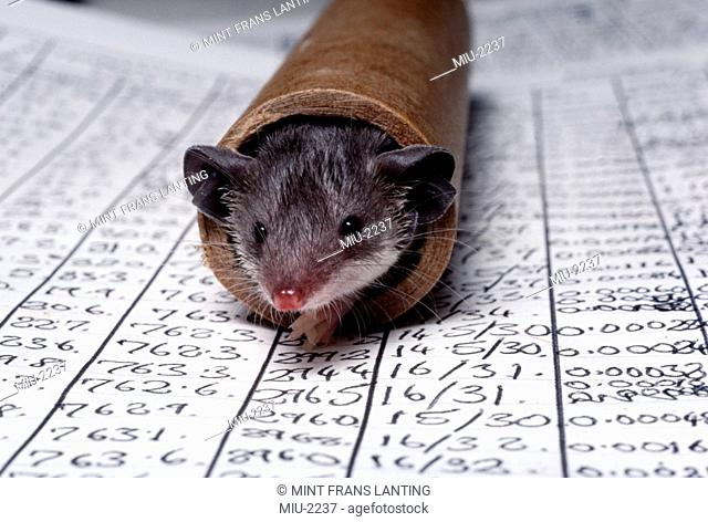 A smalll animal, a Tenrec, Tenrec ecaudatus, in a rolled up cardboard tube, on top of data sheets, Madagascar