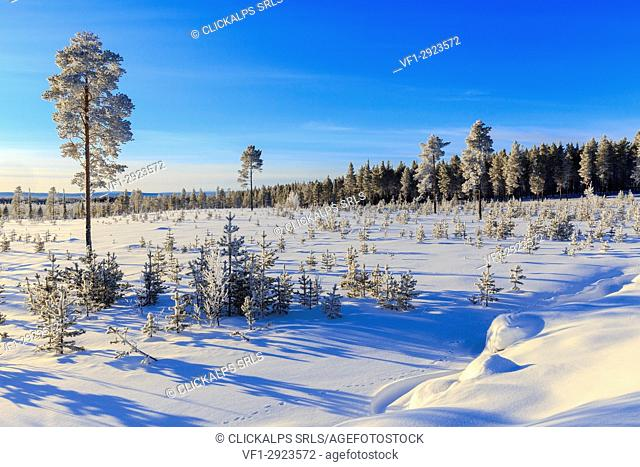 Vegetation covered with snow during the winter of Lapland. Vittangi, Norbottens Ian, Lapland, Sweden,Europe