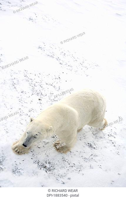 Polar Bear Ursus Maritimus Walking With It's Eyes Closed As Viewed From A Tundra Buggy Above, Churchill, Manitoba, Canada