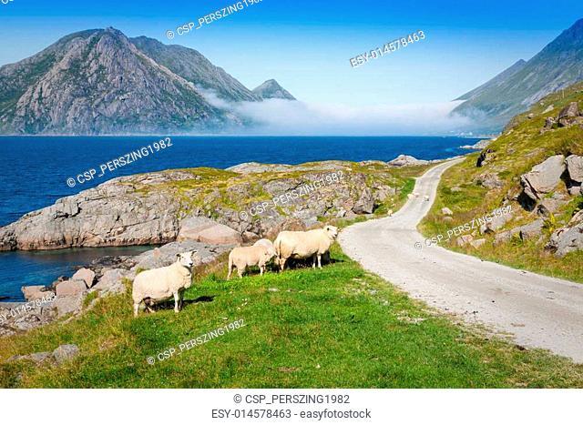 Sheep walking along road. Norway landscape