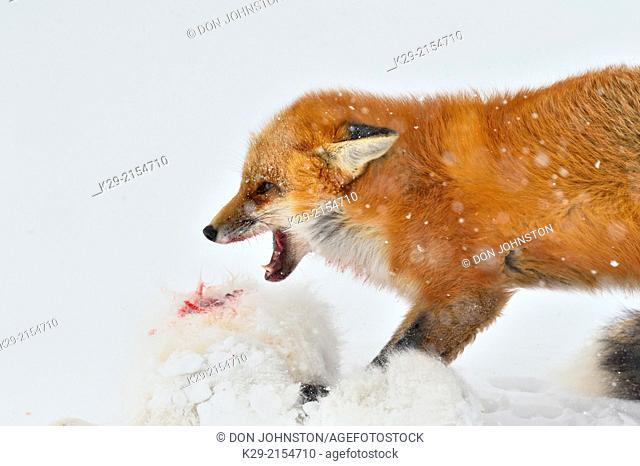 Red fox (Vulpes vulpes) preying upon an Arctic Fox (Alopex lagopus), Wapusk NP, Cape Churchill, Manitoba, Canada