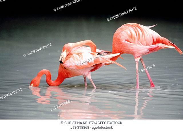 American Flamingos (Phoenicopterus ruber ruber)