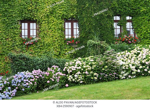Facade of a house covered with ivy and hydrangea plants, Rochefort-en-Terre, Brittany, France