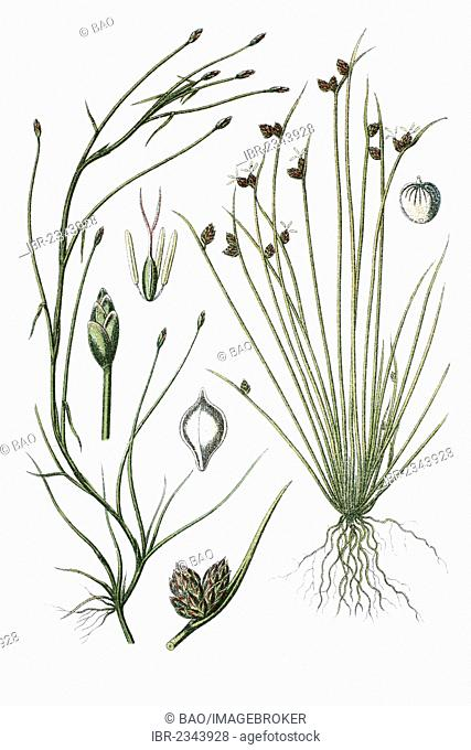 Two species of sedges, Cyperus fluitans (Cyperus fluitans) on the left, Cyperus setaceus (Cyperus setaceus) on the right, medicinal plants