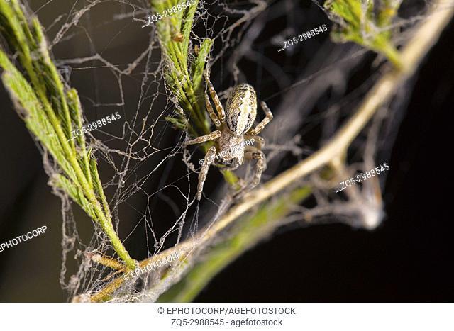 Social spider, Stegodyphus sarasinorum, Pondicherry, Tamil Nadu, India. Description : it is one of the few social spiders in the world