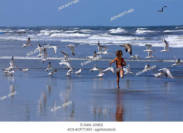 Young girl running along beach among flock of Royal Terns (Thalasseus Maximus)in flight.  St Augustus ,florida, USA