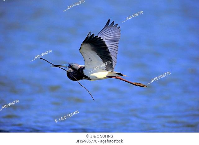Tricolored Heron, (Egretta tricolor), Wakodahatchee Wetlands, Delray Beach, Florida, USA, Northamerica, adult flying in breeding cloth with nesting material