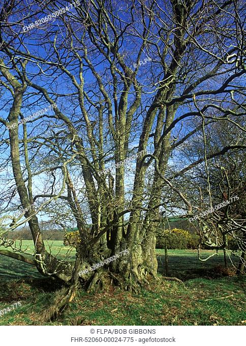 Common Alder Alnus glutinosa old coppiced tree, Lower Kingcombe, Dorset, England
