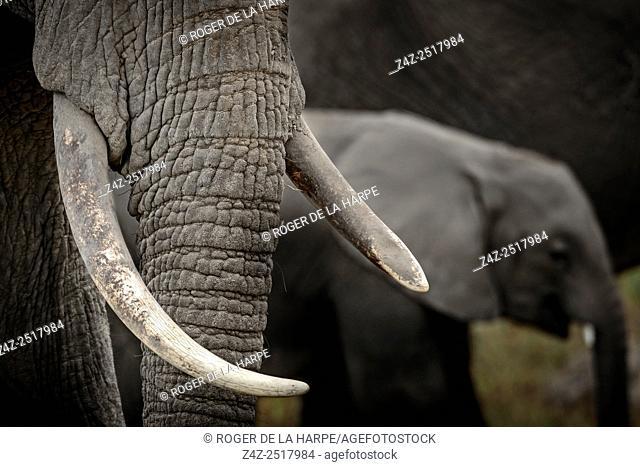African bush elephant (Loxodonta africana) detail of tusks. Amboseli National Park. Kenya