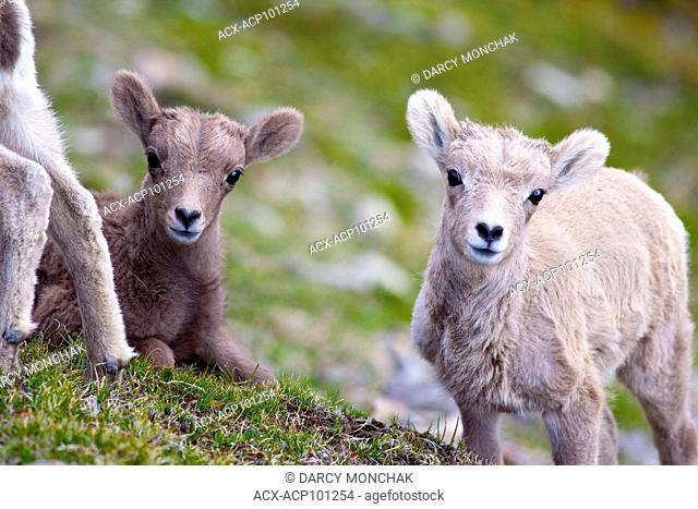 Close-up of Bighorn Sheep (Ovis canadensis) lambs (one beige, one brown), Jasper Nat'l Park