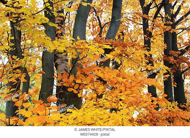 Beech (Fagus sylvatica), autumn leaves on tree, atumn foliage, fall colours, Zürcher Oberland, Switzerland