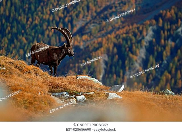 Antler Alpine Ibex, Capra ibex ibex