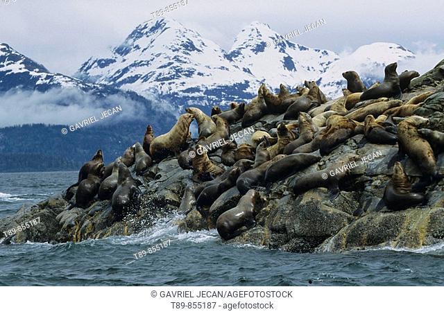 Steller sea lions Eumetopias jubatus