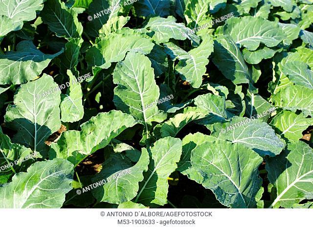 White Italian Cauliflower Brassica oleracea botrytis plants