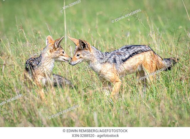 Black-backed jackal (Canis mesomelas) play in the grass in Maasai Mara National Reserve, Kenya