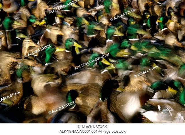 Mallard ducks grouped together Male & Female AK