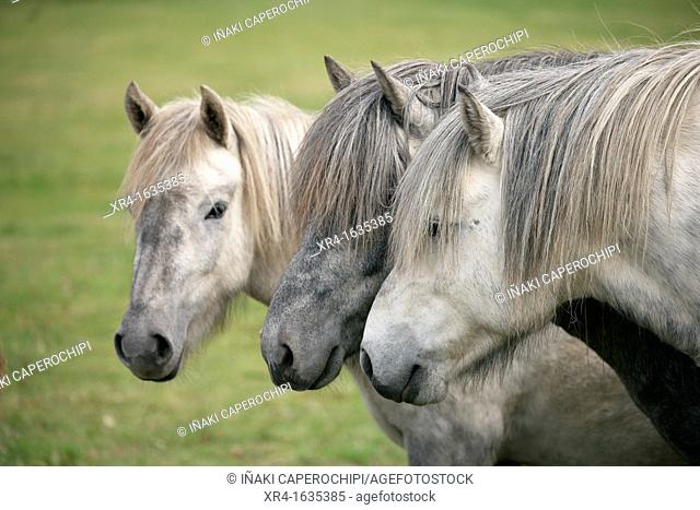 Horses on Raudasandur beach, Western Fjord, Iceland