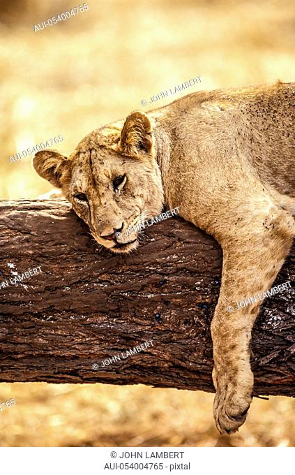 africa, young male lion on tree stump