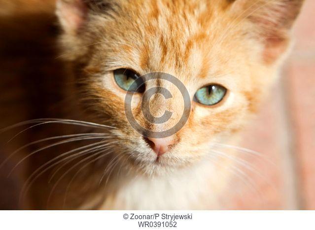 red playful kitten wtih green eyes