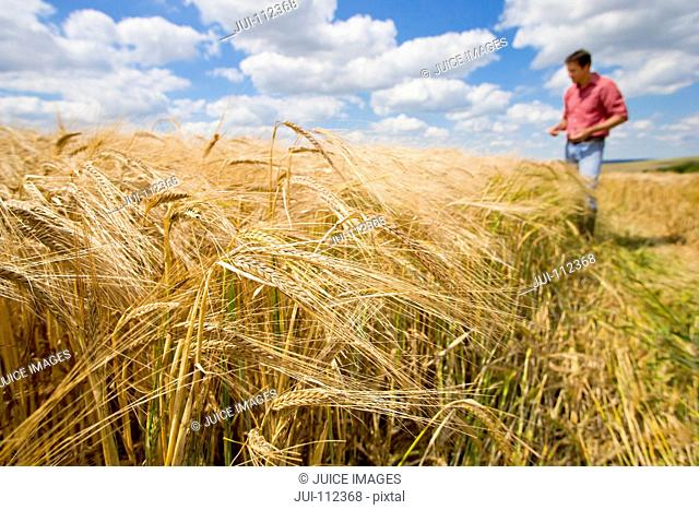 Sunny rural barley crop field in summer with farmer in background
