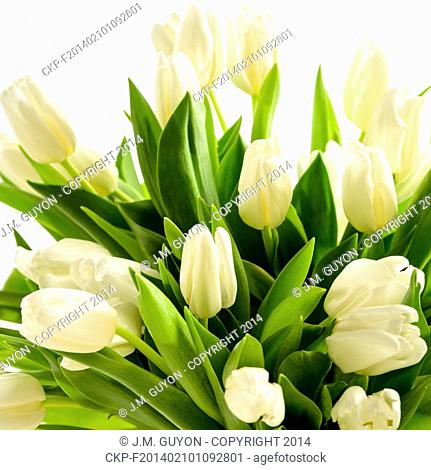 White tulip flowers bouquet on white background