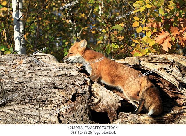 Red Fox  Adult  Vulpes vulpes  Order : Carnivora  Family : Canidae