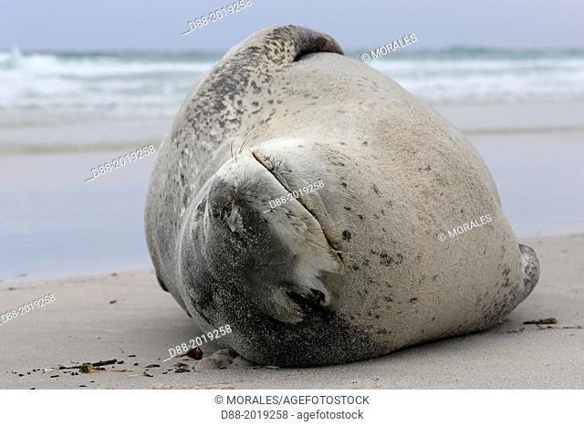 Falkland Islands, Saunders island, Leopard Seal Hydrurga leptonyx on the beach