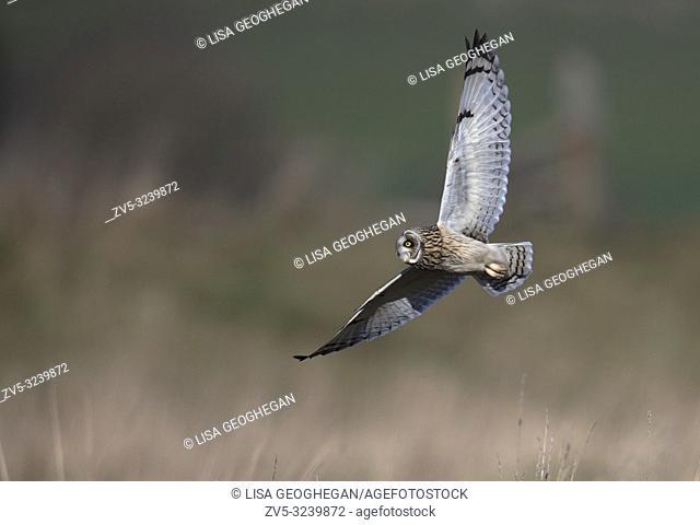Short-eared Owl-Asio flammeus hunting. Winter. Uk