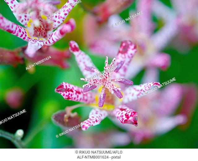 Toad lily flowers