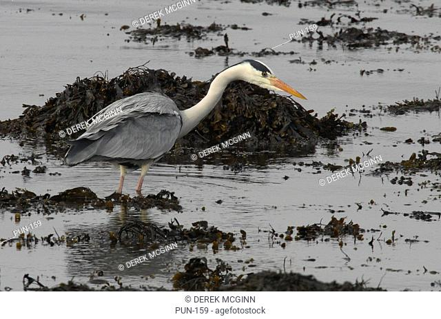 Grey Heron, Ardea cinereain spring Moray Firth, Scotland
