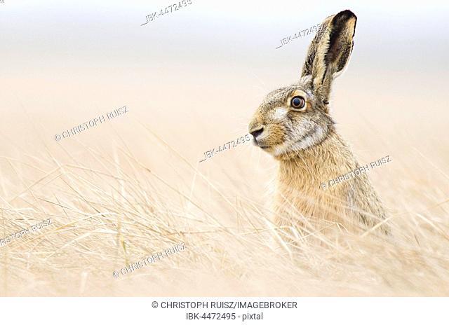 European hare (Lepus europaeus) sitting, Lake Neusiedl, Seewinkel, Burgenland, Austria