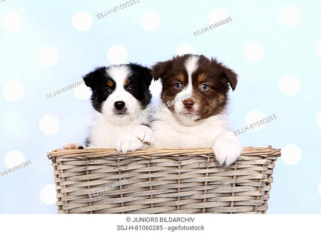 Australian Shepherd. Two puppies (6 weeks old) sitting in a wicker basket. Studio picture against a blue background with white polka dots. Germany