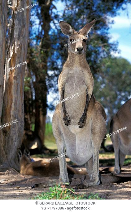 Eastern Grey Kangaroo, macropus giganteus, Adults, Australia