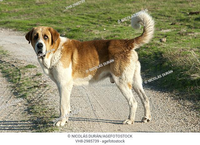 Mastin. Shepherd dog. Extremadura. Spain