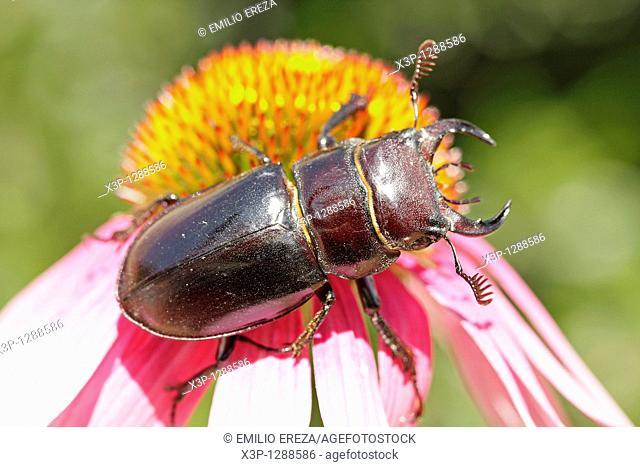 Stag beetle Lucanus pseudolucanus barbarossa