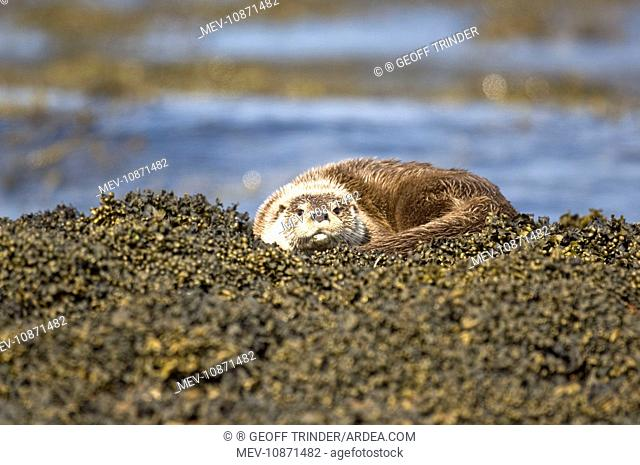 Otter - Curled up on seaweed covered rocks (Lutra lutra). Isle of Mull - Scotland