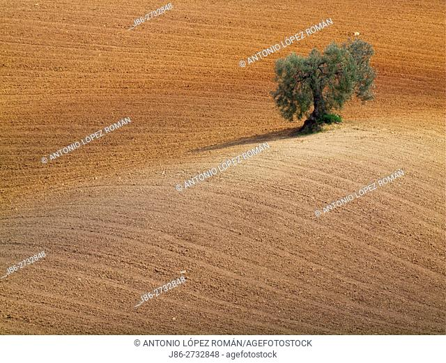Andalusian landscape with Olive tree
