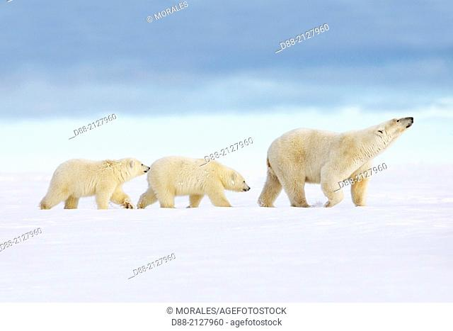 United States,Alaska,Arctic National Wildlife Refuge,Kaktovik,Polar Bear( Ursus maritimus ),female adult with 2 cubs from the year