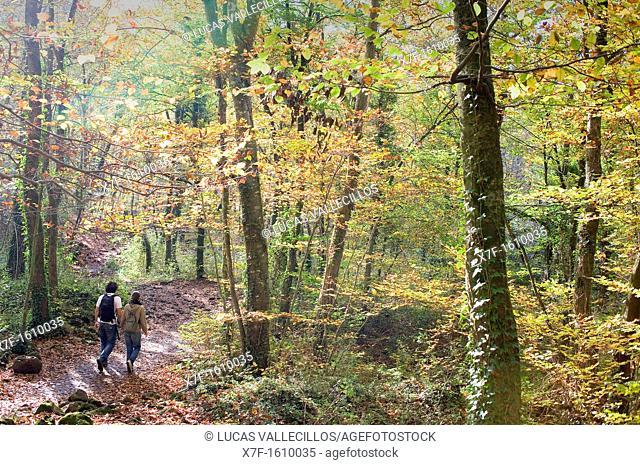 Fageda d'en Jordà,Garrotxa Natural Park,Girona province  Catalonia  Spain
