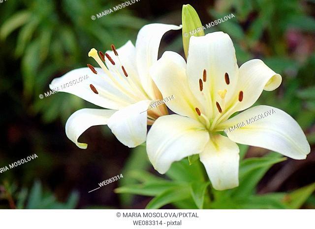 White Asiatic Lily Duo. Lilium hybrid, asiatic