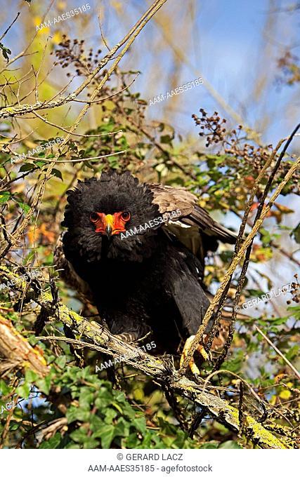 Bateleur Eagle (Terathopius Ecaudatus) Adult On Branch