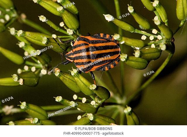 Shieldbug Graphosoma italicum adult, on umbellifer, France