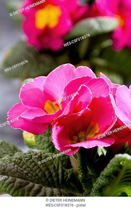 Pink primrose, close up