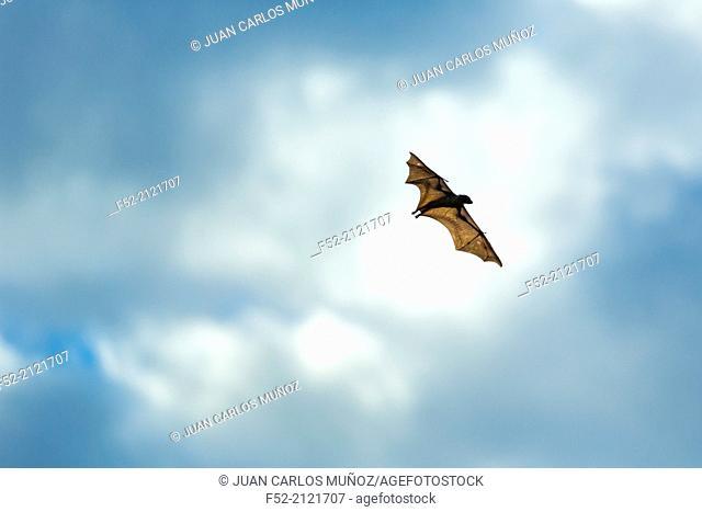 Straw-coloured fruit bat (Eidolon helvum), Bat migration, Kasanka National Park, Serenje, Zambia, Africa