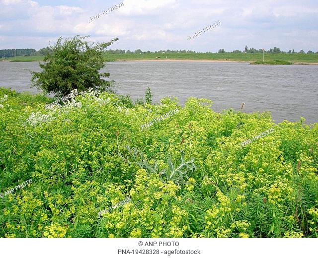 Cypress Spurge Euphorbia cyparissias - Rhine, Pannerden, De Lijmers, De Liemers, Gelderland, Guelders, The Netherlands, Holland, Europe
