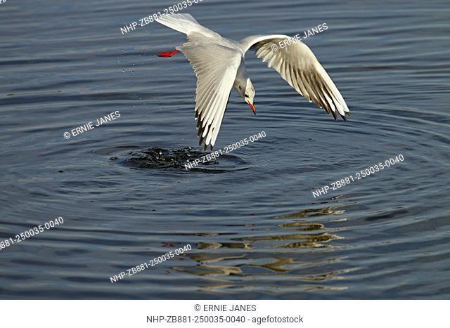 Black Headed Gull Larus Ridibundus feeding in creek Titchwell Norfolk