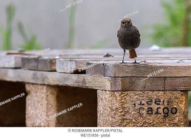 germany, saarland, homburg -A black redtail is searching for fodder